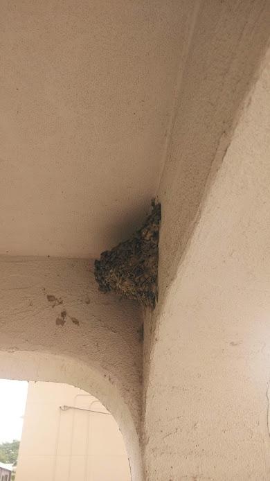 今年はツバメのヒナが2羽孵りました。無事に巣立ってくれますように。