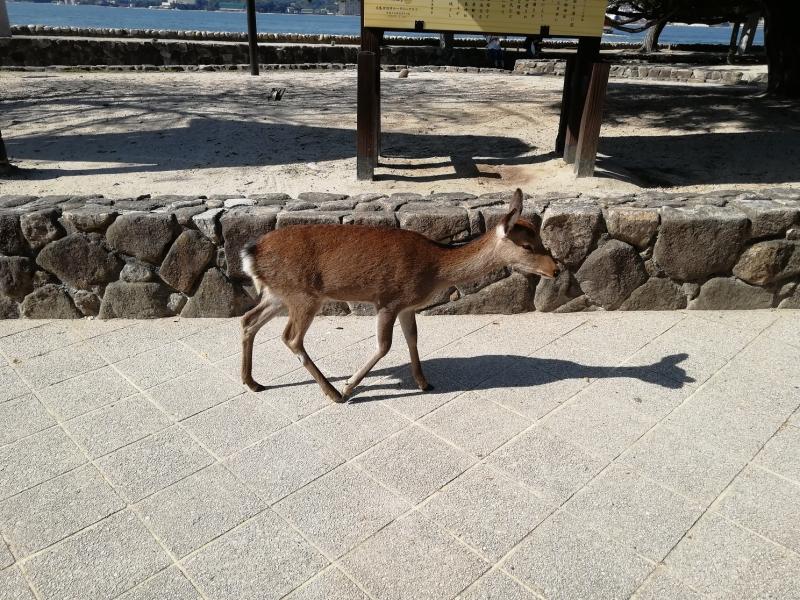 宮島に約500頭生息している野生の鹿が出迎えてくれます。