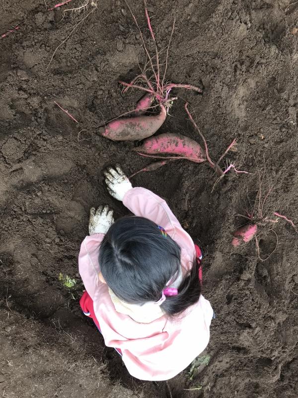 無理やり引っこ抜くと折れてしまうので、慎重に土をかき分けます。娘のほうはきれいに掘れてますね。掘れたお芋から几帳面な性格が見えます。ちなみに息子の方は・・・まあなんというかあれですよ。