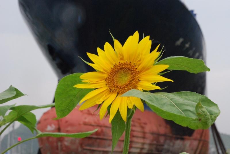 打ち上げられた漁船前、鹿折中の花壇に咲いていたひまわり(気仙沼)