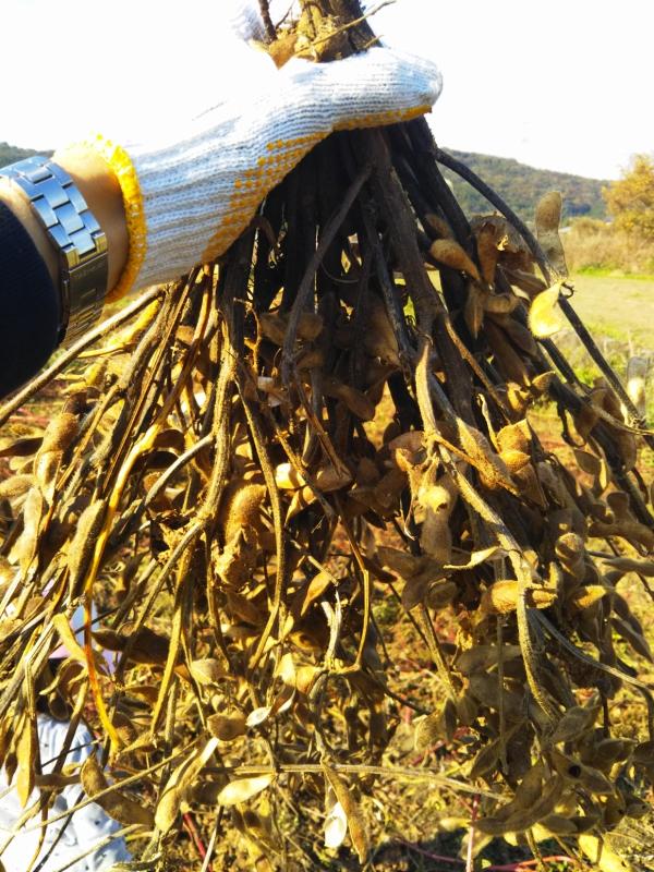 大豆の枝を10束ほど逆さに束ねます。