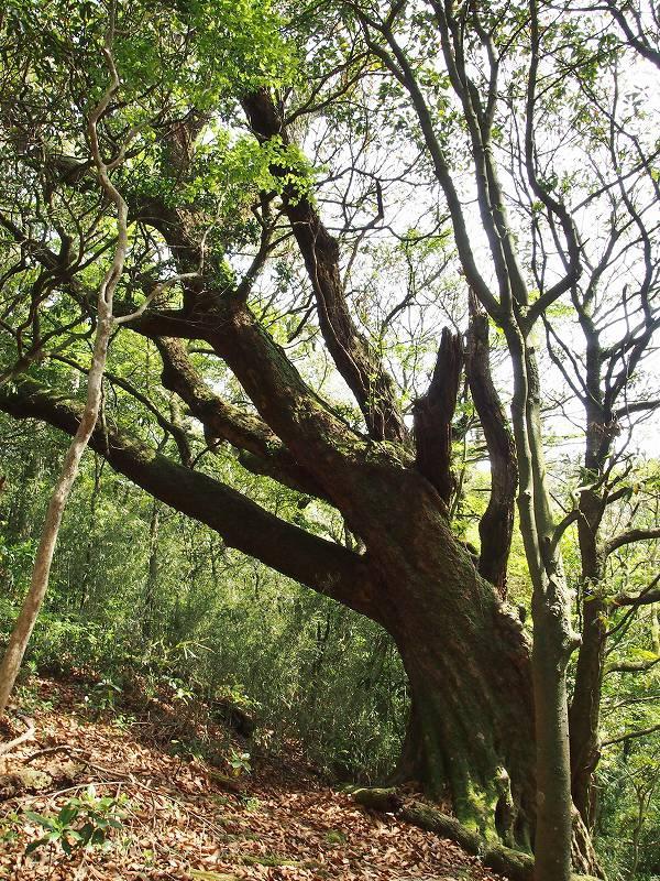 推定樹齢700年のアカガシ