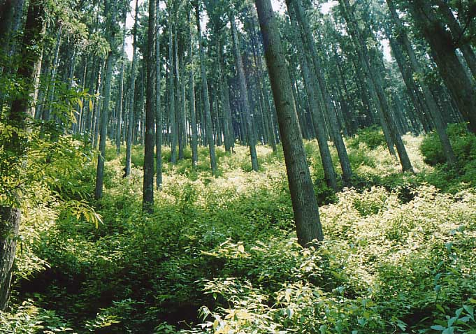 間伐が行われている人工林。