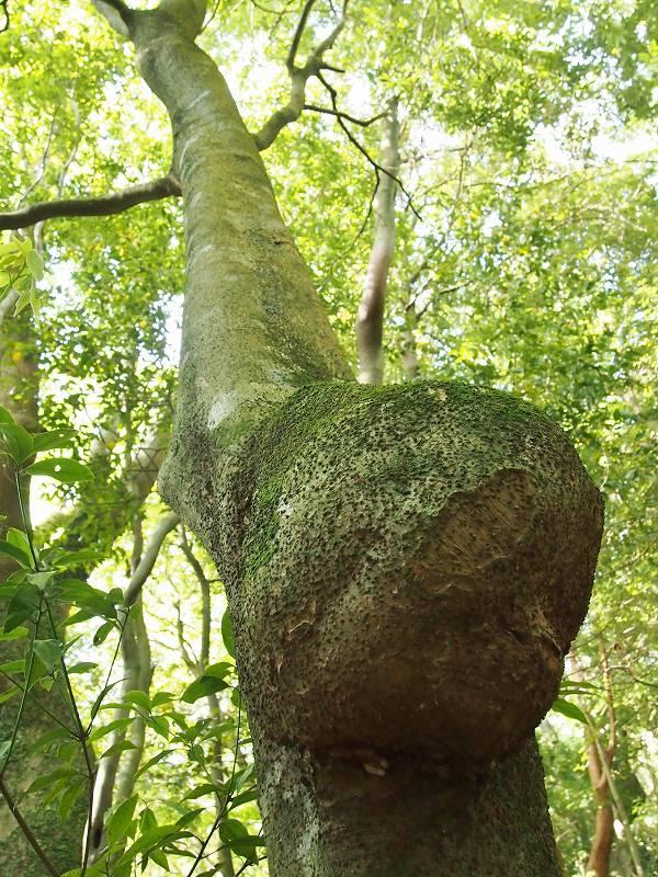 葉は生い茂っており、コブ以外は普通の木に見える。