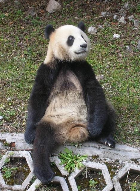 九寨溝で飼育されていたパンダ