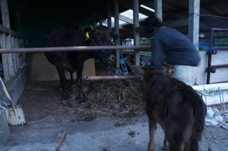 町営牧場、牛を牛舎へ戻す山地さん
