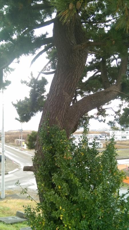 日和山にある松の木。中央部の傷は津波で流された瓦礫にぶつかってできたもの