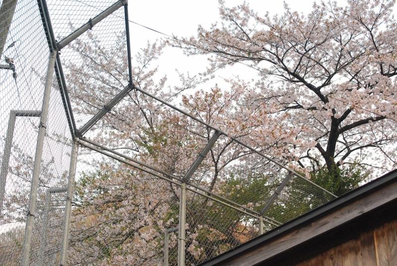 バックネットと桜