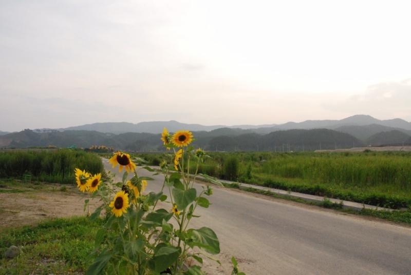 陸前高田の町なかに咲くひまわり