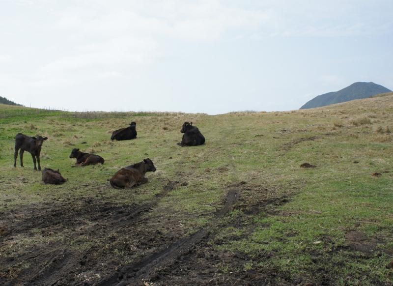 町営牧場の牛たち