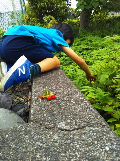 散歩中に野イチゴを発見!塀によじ登りGET!どんなに隠れた場所でも、どんなに遠い場所にあっても、こういうものは絶対見逃しません。