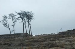 松川浦にわずかに残った松の木