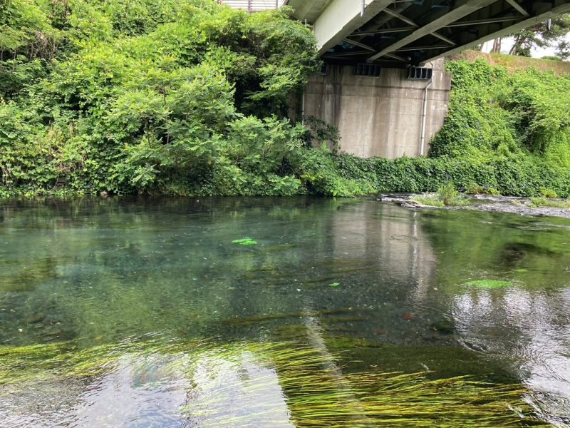 柿田橋の真下。むかしは同級生たちが泳いでいましたが、水は真夏でも冷たいので、ちょっと泳いだらみんな唇が青くなります。