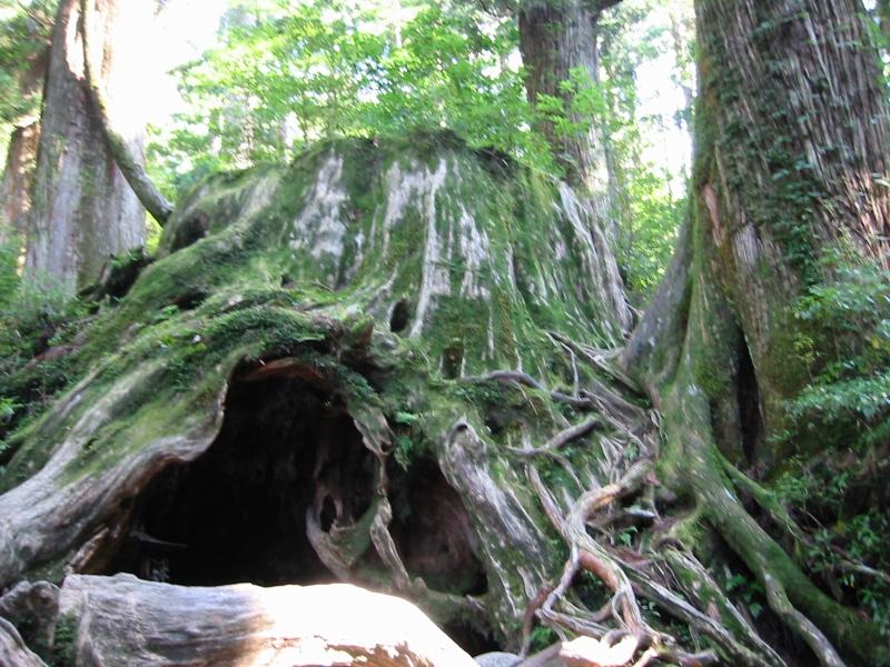 有名な「ウィルソン株」。周囲およそ16m!もし現存いていたら最大級の屋久杉です。