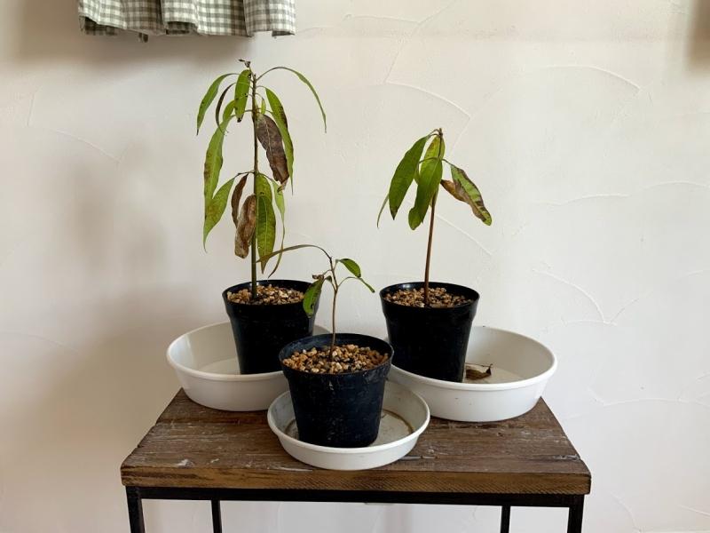 マンゴーの苗木。スーパーで買ってきたマンゴーの種を取り出して育てています。
