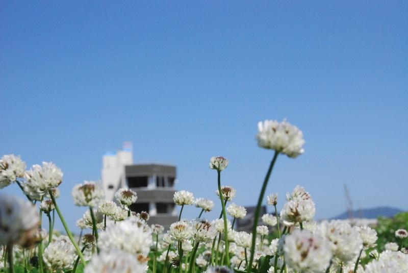 2013年6月、陸前高田の被災地に咲いたシロツメクサ。背景は津波被害を受けた米沢商会ビル