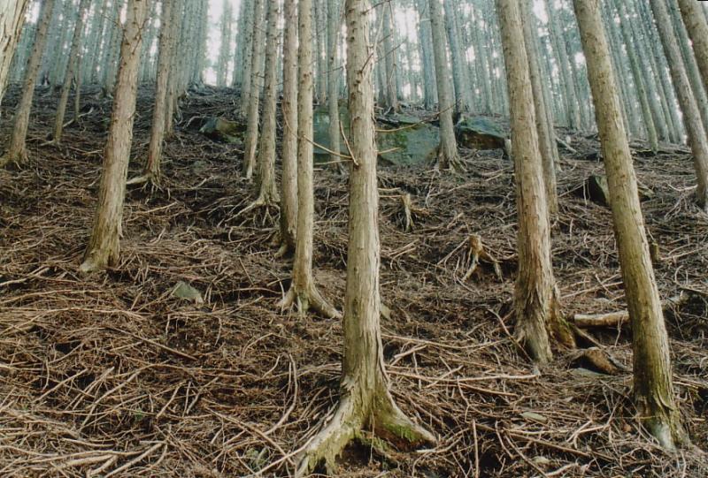 間伐が行われていない人工林。土や木の根がむき出しになっています