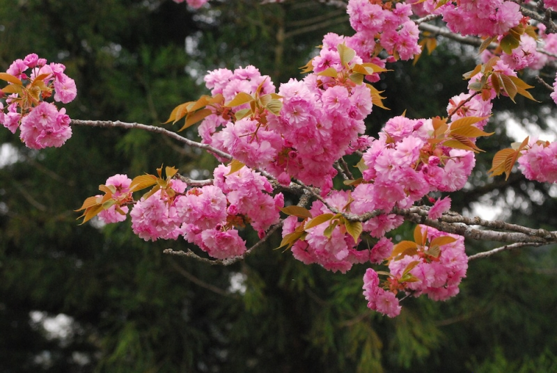 その日の八重桜