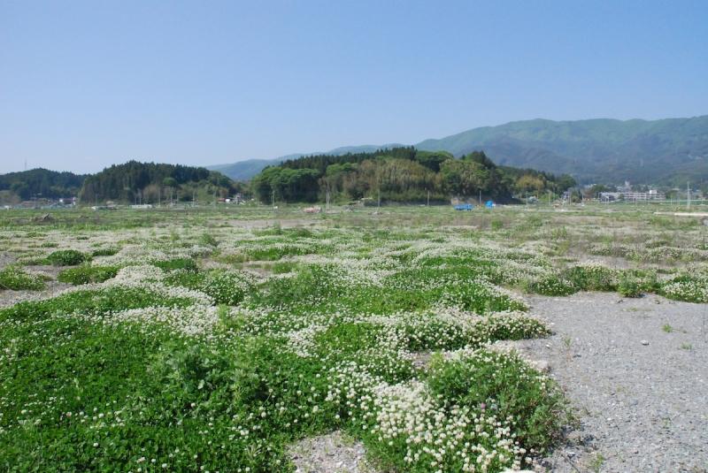 2013年、陸前高田市のシロツメクサ。旧陸前高田駅近くの景色