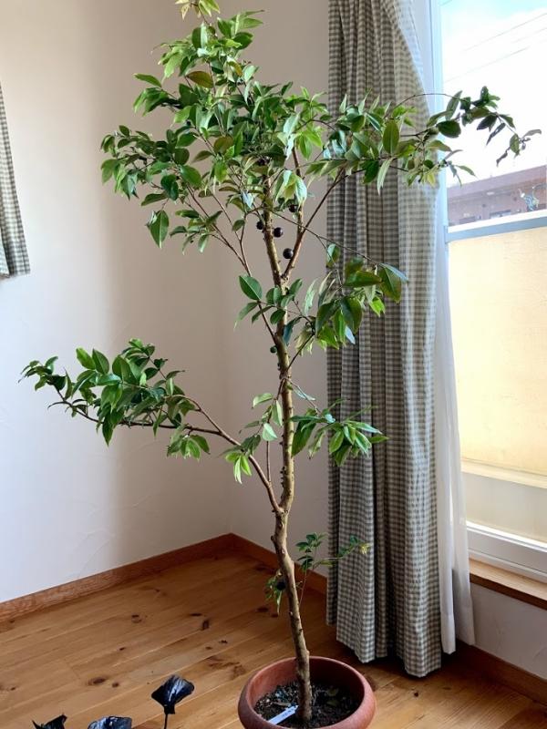 ジャボチカバの木。今年から新一年生になって息子の入学祝いで購入しました。高さは1m60cmくらいあります。