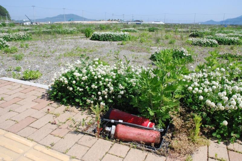 2013年、陸前高田。道路の穴を埋めるように置かれた消火器とシロツメクサ