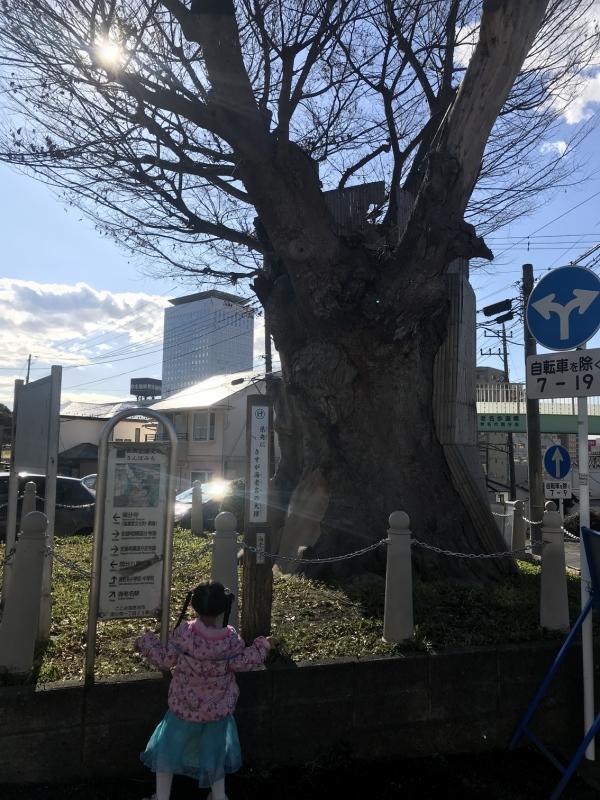 国分寺に入っていく道の角にどっかりと立つ「海老名の大ケヤキ」。神奈川県指定天然記念物で、樹齢300年以上(一説には500年以上!)と言われています。ちなみにこのケヤキ、かつてこの付近が海だった頃漁師が船を繋ぐために打ち込んだケヤキの逆さ杭が根付いたという伝説があります。