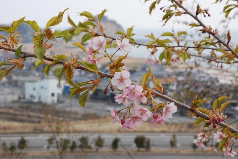 遠景には殿上山。久之浜を一望する龍光寺の桜