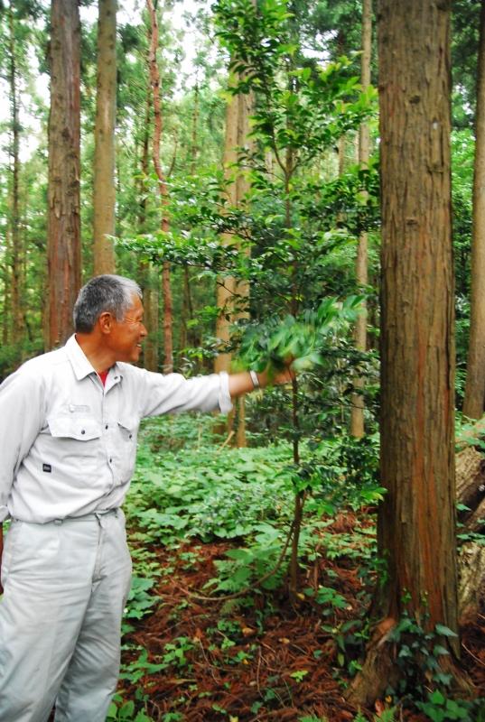 榊(サカキ)の木と佐藤さん