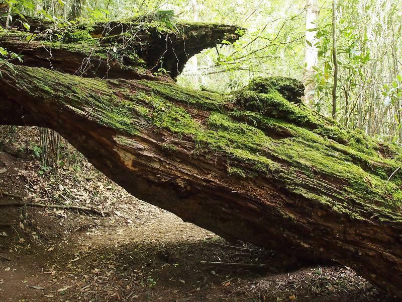 推定樹齢400年のアカガシの巨木。