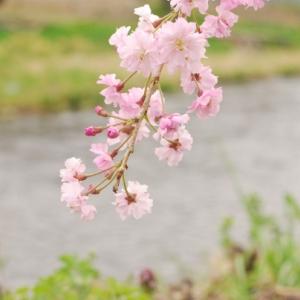 枝垂れ桜の花言葉