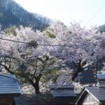 陸前高田の人が言った「住田は桜がいっぱい」という言葉
