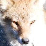 WILDLIFE in TOHOKU「キツネの瞳に映るもの
