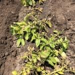 貸し農園で始める野菜作り(7)