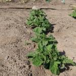 貸し農園で始める野菜作り(4)