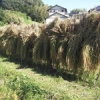 体験から学ぶ Part7 ~秋の稲刈り体験~ by cha_chan