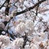 桜咲く春の吹雪