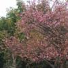浄土寺の河津桜