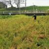 体験から学ぶ Part4 ~古代の稲刈りを再現しよう!~ by cha_chan