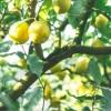 すっぱ辛い新感覚調味料「レモスコ」 - 瀬戸内レモン農園®