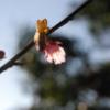 東北に ふくらむ桜 春がくる
